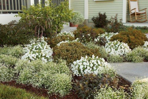 Wilczomlecz Euphorbia 'Diamond Frost'  wymagania