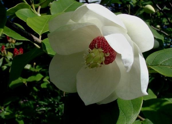 Magnolia Siebolda cena