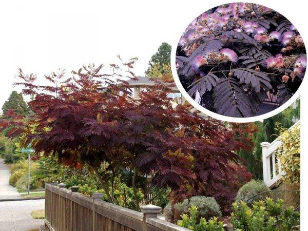 Albicja o purpurowych liściach sadzonka