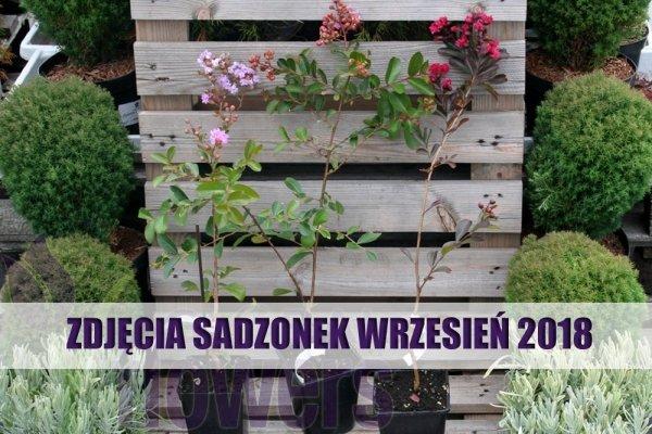 Bez Południa Coccinea Sadzonka