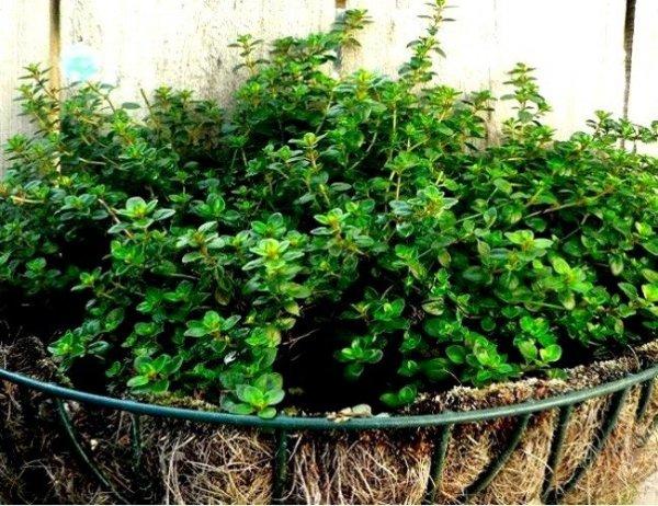 Tymianek właściwy - (Thymus vulgaris) 0,3g