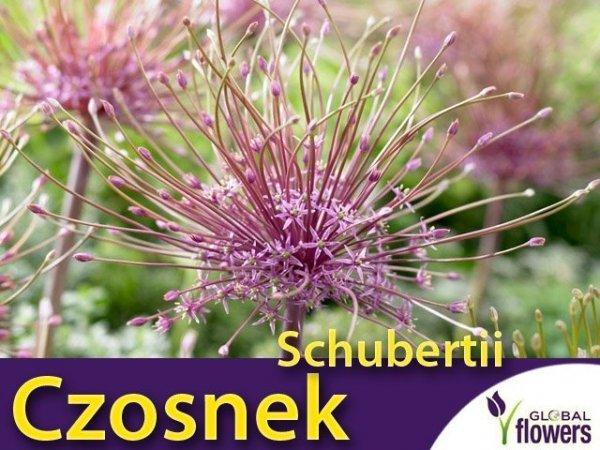 Czosnek Szuberta (Allium Schubertii)