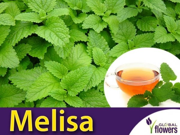 Melisa lekarska (Melissa officinalis) Sadzonka