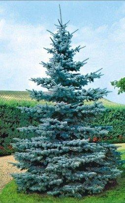 Picea pungens glauca uprawa