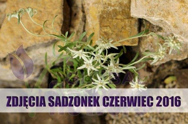 szarotka alpejska cena, szarotka alpejska uprawa, Leontopodium alpinum