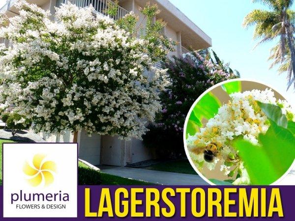 Lagerstroemia Petite White biała (Lagerstroemia indica) Krzew który kwitnie 120 dni Sadzonka