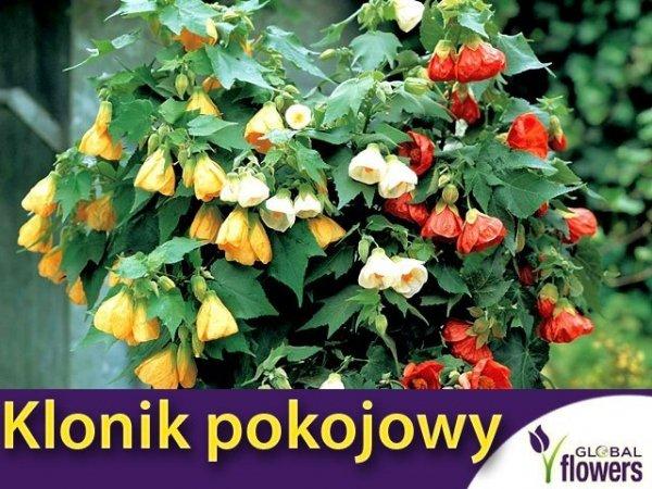 Klonik pokojowy, mieszanka (Abutilon hybridum) 0,2g