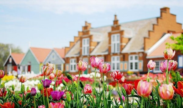cebulki tulipanów sklep wysyłkowy