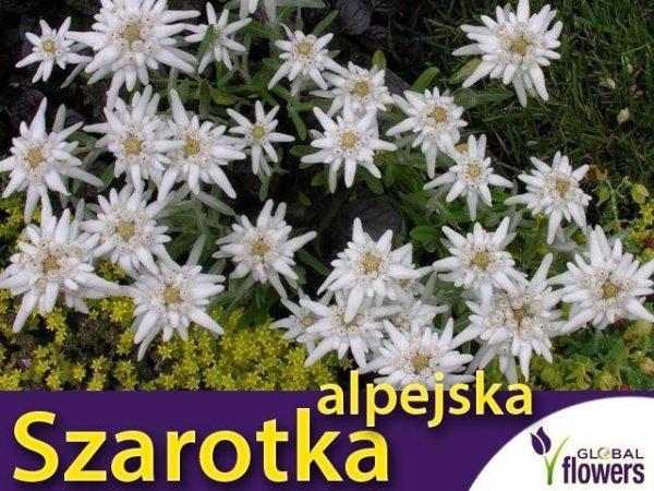 Szarotka alpejska (Leontopodium alpinum) CEBULKA