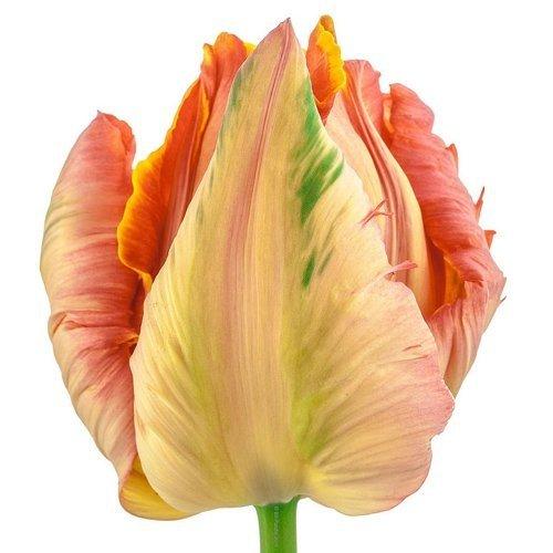 tulipany cebulki