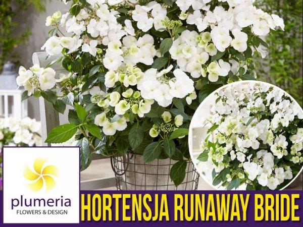 Hortensja RUNAWAY BRIDE ® 'Snow White' (Hydrangea hybrid) Duża Sadzonka