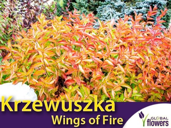 Krzewuszka 'Wings of Fire' (Weigela) Sadzonka