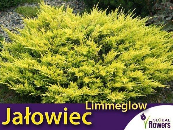 Jałowiec Płożący 'Limmeglow' (Juniperus horizontalis) Sadzonka