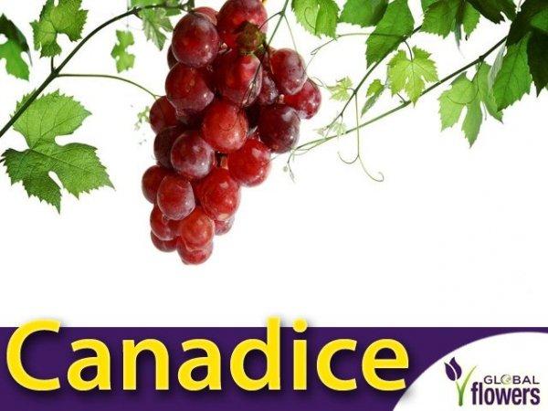 Winorośl Canadice Sadzonka