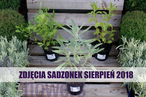 Szałwia Lekarska (Salvia officinalis) Sadzonka