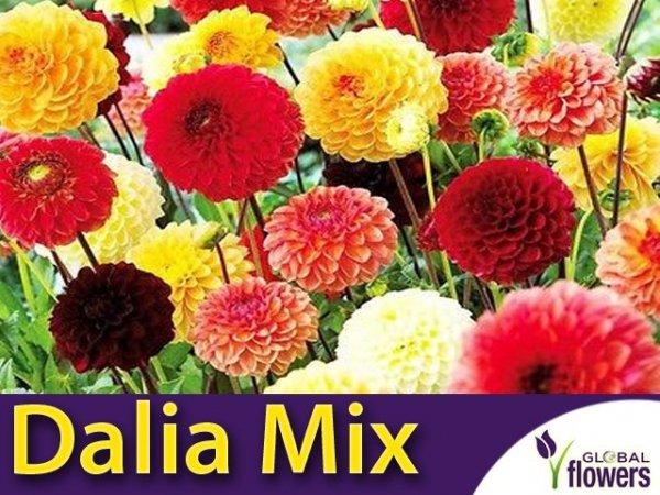 Dalia pomponowa zmienna - mieszanka (Dahlia pinnata fl.pl)