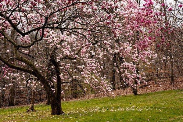 Magnolia 'Rustica Rubra' uprawa