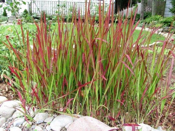 Czerwona trawa ozdobna