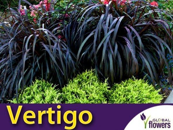 Rozplenica Słoniowa 'Vertigo' (Pennisetum purpureum) Trawa Sadzonka