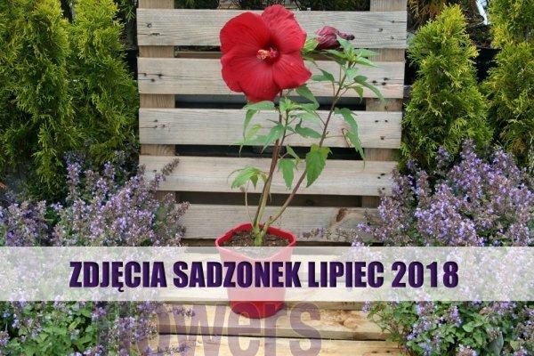 Hibiskus Bylinowy Summerific bagienny kwiaty XXL