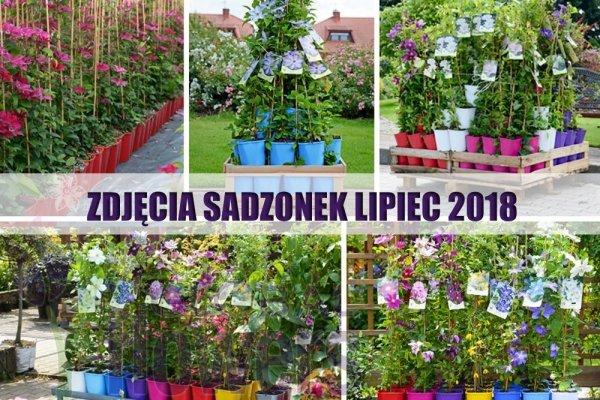 Clematis Powojnik 'Sweet Summer Love' PBR Sadzonka