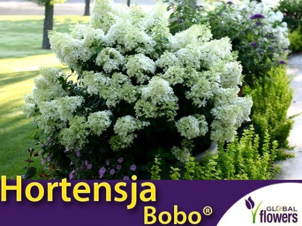 Hortensja bukietowa 'Bobo ®' karłowa (Hydrangea paniculata) sadzonka