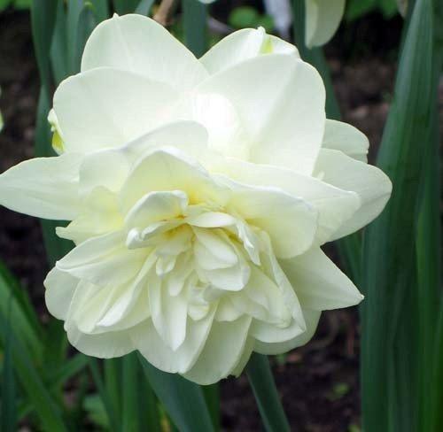 Narcyz pełny 'Obdam' (Narcissus) CEBULKI