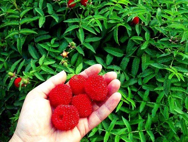 Malinotruskawka smak owoców