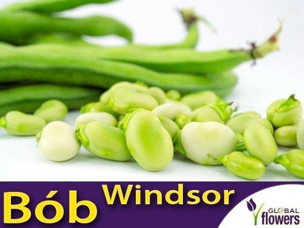 Bób Windsor Biały (Vicia faba) opakowanie L