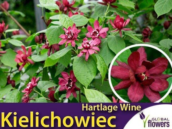 Kielichowiec 'Hartlage Wine' (Calycanthus raulstonii) Sadzonka XL- C5 40-60cm