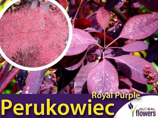 Perukowiec 'Royal Purple' (Cotinus coggygria) Sadzonka