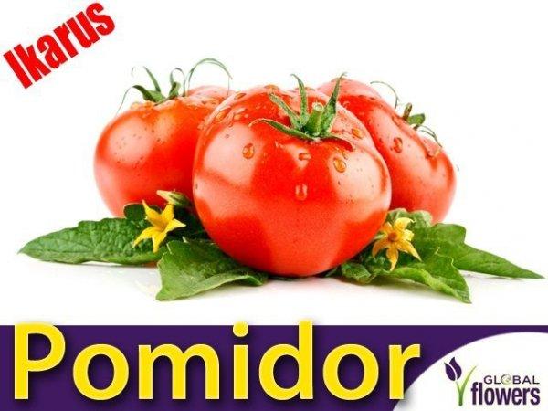 Pomidor późny Ikarus (Lycopersicon Esculentum)