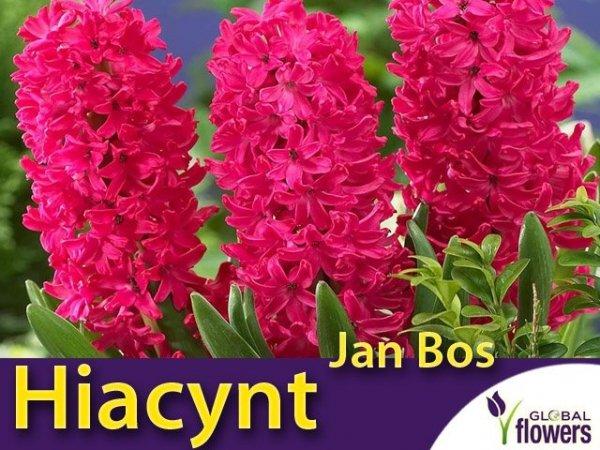 Hiacynt Wschodni 'Jan Bos' (Hyacinthus) CEBULKI