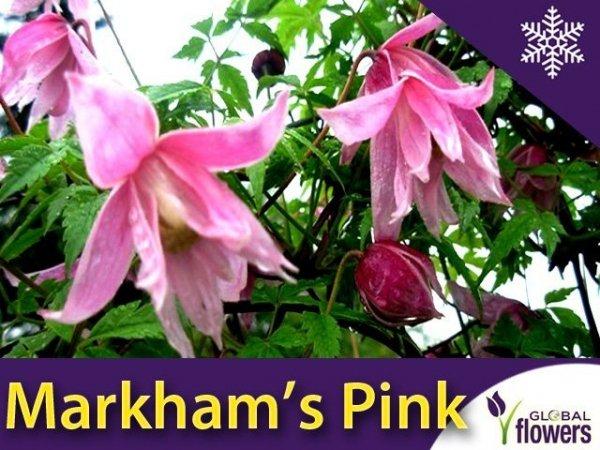 Clematis Powojnik Markham's Pink Sadzonka