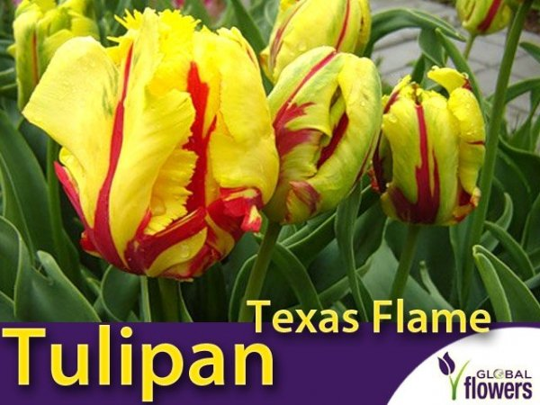 Tulipan Pełny 'Texas Flame' (Tulipa) CEBULKI