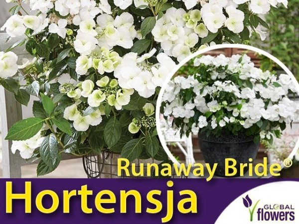 nagradzana hortesnja Runaway Bride® 'Snow White'