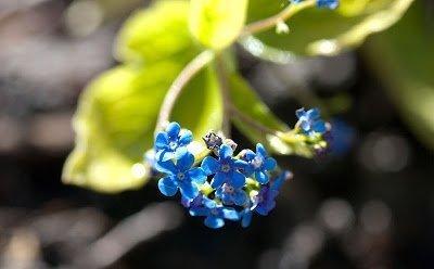 kwiaty jak niezapominajka