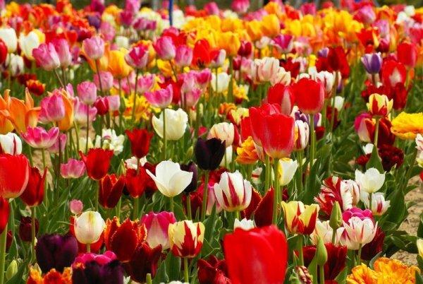 Piekny żółty tulipan z czerwonym obrzeżem