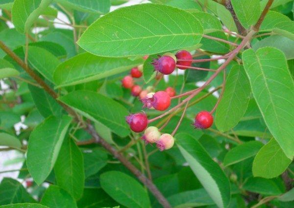 Świdośliwa Kanadyjska plantacja, sadzenie , rozstaw