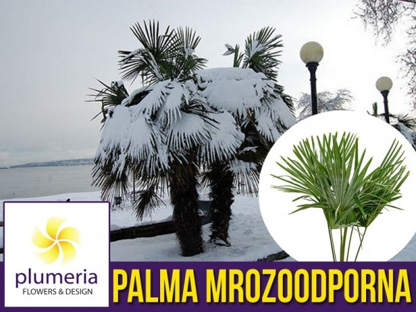 Palma Mrozoodporna (Trachycarpus fortunei) Sadzonka C2