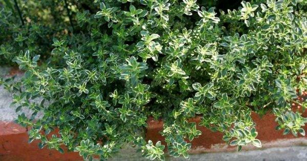 Thymus citriodorus zastosowanie w kuchni