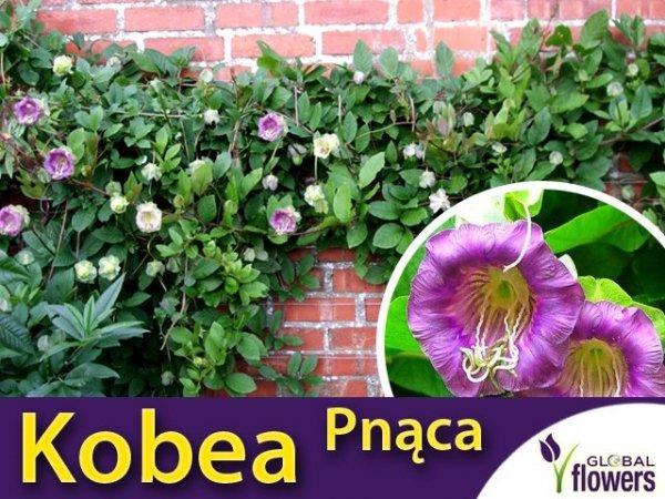 Kobea Pnąca fioletowa (Cobaea Scandens) nasiona