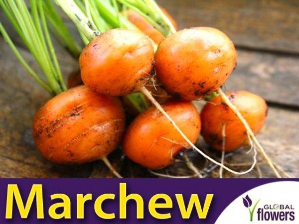 Okrągła Marchew Pariser Markt 4 Bardzo Wczesna(Daucus carota) 3g