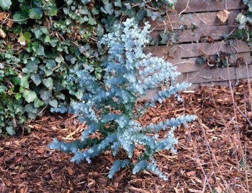 niebieski eukaliptus uprawa