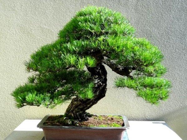 Japońska czarna sosna (Pinus thunbergii )