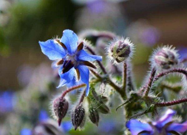 (Borago officinalis) Sadzonka