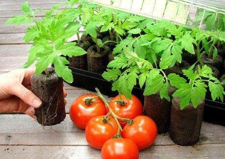 Krążki torfowe do pomidorów