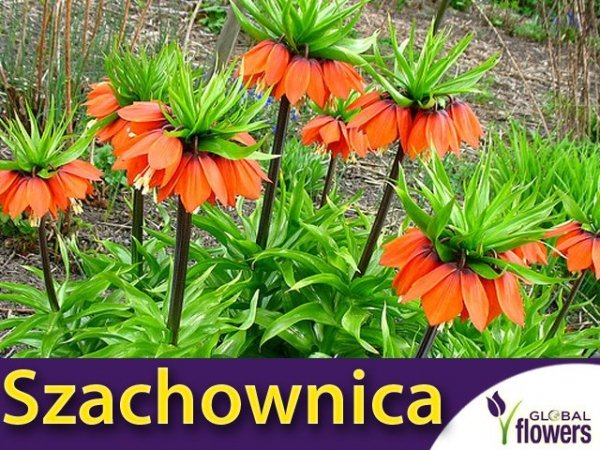 Szachownica cesarska 'Aurora' (Fritillaria imperialis) CEBULKA