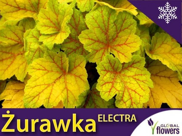 Żurawka 'Electra' (Heuchera) Sadzonka