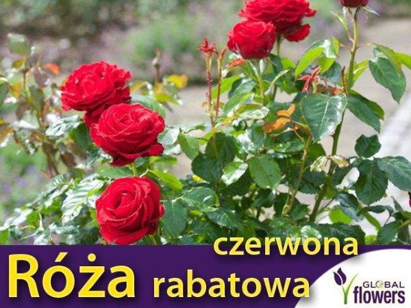 Róża rabatowa czerwona gdzie kupić